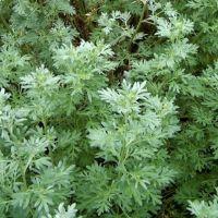 PELİN OTU (Artemisia absinthium)