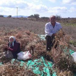 Kırklareli'de Kuru Fasulye Hasadı Devam Ediyor