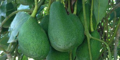 Antalya'da Avokado Üretimi 12 Kat Arttı