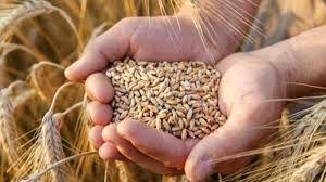 Arpa ve buğdaya TMO da zam yaptı! Kasım ayı satış miktarı açıklandı