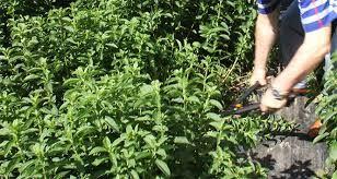 Bakan Pakdemirli stevia bitkisinde plansız yatırımın faturasını açıkladı