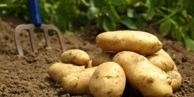 Bolu çiftçisinin gönlünde yatan aslan her zaman patates olmuştur!