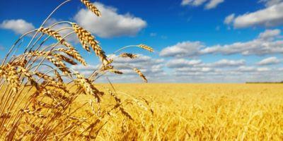 Buğday Ekim Alanları Azaldı