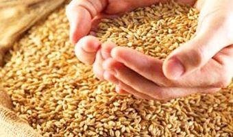 Buğday Hasadı Diyarbakırlı Çiftçinin Yüzünü Güldürdü