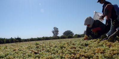 Çekirdeksiz kuru üzüm ihracatçılarından 452 milyon dolarlık ihracat sağlandı.