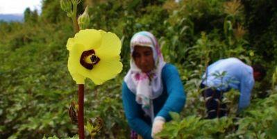 Çiçek Bamyasına 'Çeyrek Altın' Diyorlar