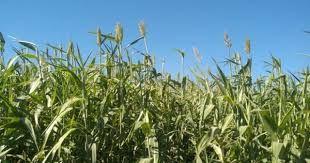 Çiftçilerimizin dertlerine deva olacak bir bitki: Şeker Sorgumu