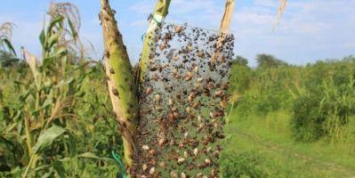 Dünyanın Başı İstilacı Böceklerle Dertte