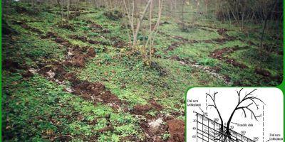 Fındık bahçelerinde azotlu gübre nasıl uygulanır?