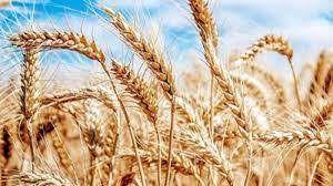 İthal buğday 20 günde 23 dolar arttı! Ekmeklik buğdayda kaygılandıran ithalat!