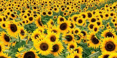 Konya ayçiçeği üretiminde ikinciliğe yükseldi