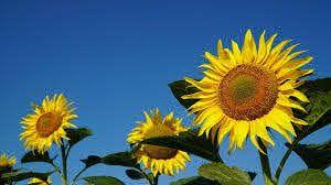 Konya Şeker ayçiçeği üreticisine ortalama 4 bin 70 TL ödedi!