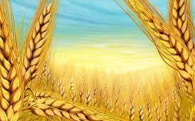 Ladik'te Buğday Hasadı