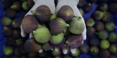"""Lezzeti, raf ömrü ve iri görünümüyle dünyanın en kaliteli inciri kabul edilen """"Bursa siyahı""""nın tarlada kilogram fiyatı 12 liraya kadar çıktı."""