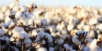 Manisa'da Pamuk Üretimi %70 Oranında Arttı
