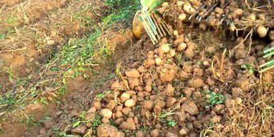 Sertifikalı Patates Tohum Üretiminde Yüksek Rekolte Bekleniyor