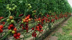 Tarım Bakanlığından destekleme açıklaması: Biyolojik ve biyoteknik mücadeleye ne kadar destek verilecek?