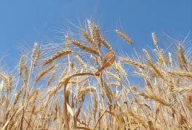 TMO buğday ithalatında 5'inci ihaleye hazırlanıyor!