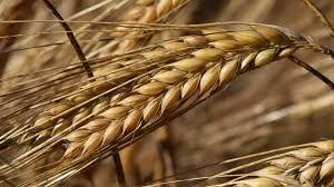 TMO vadeli arpa satışına başlıyor! Besici ve yetiştiriciler nasıl yararlanacak?